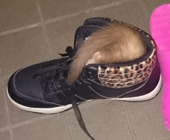 靴にもぐるフェレット