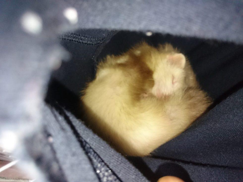穴の中で眠るフェレット