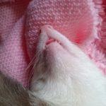 舌をだして眠るフェレット