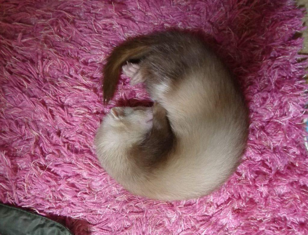 廊下の真ん中で眠るフェレット