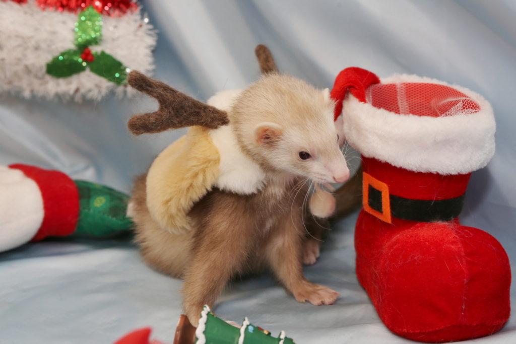 クリスマス フェレット エルちゃん