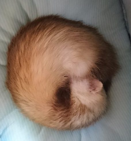 丸まって眠るフェレット