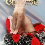 クリスマスフェレット