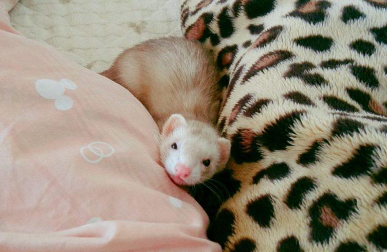 眠たいフェレット