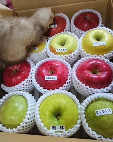 フェレットとリンゴ