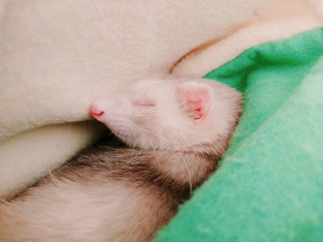 フェレット 眠る