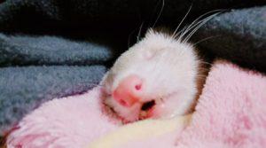 フェレット寝顔