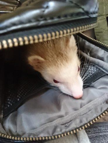 かばんに入るフェレット