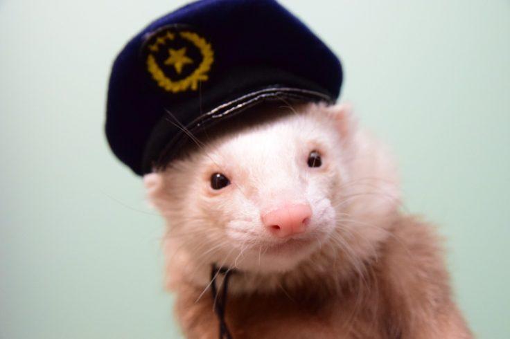 お巡りさん帽子のフェレット