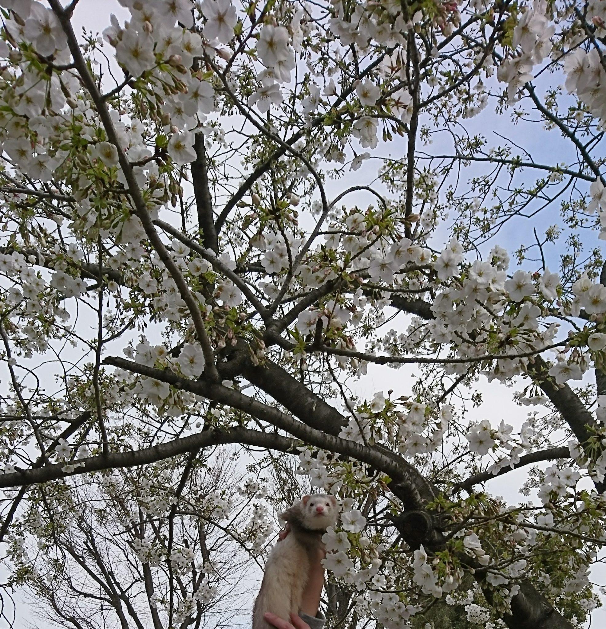 桜と同化してるフェレット