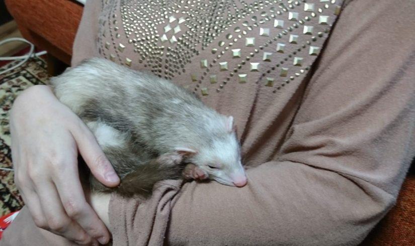 フェレット 抱っこ寝