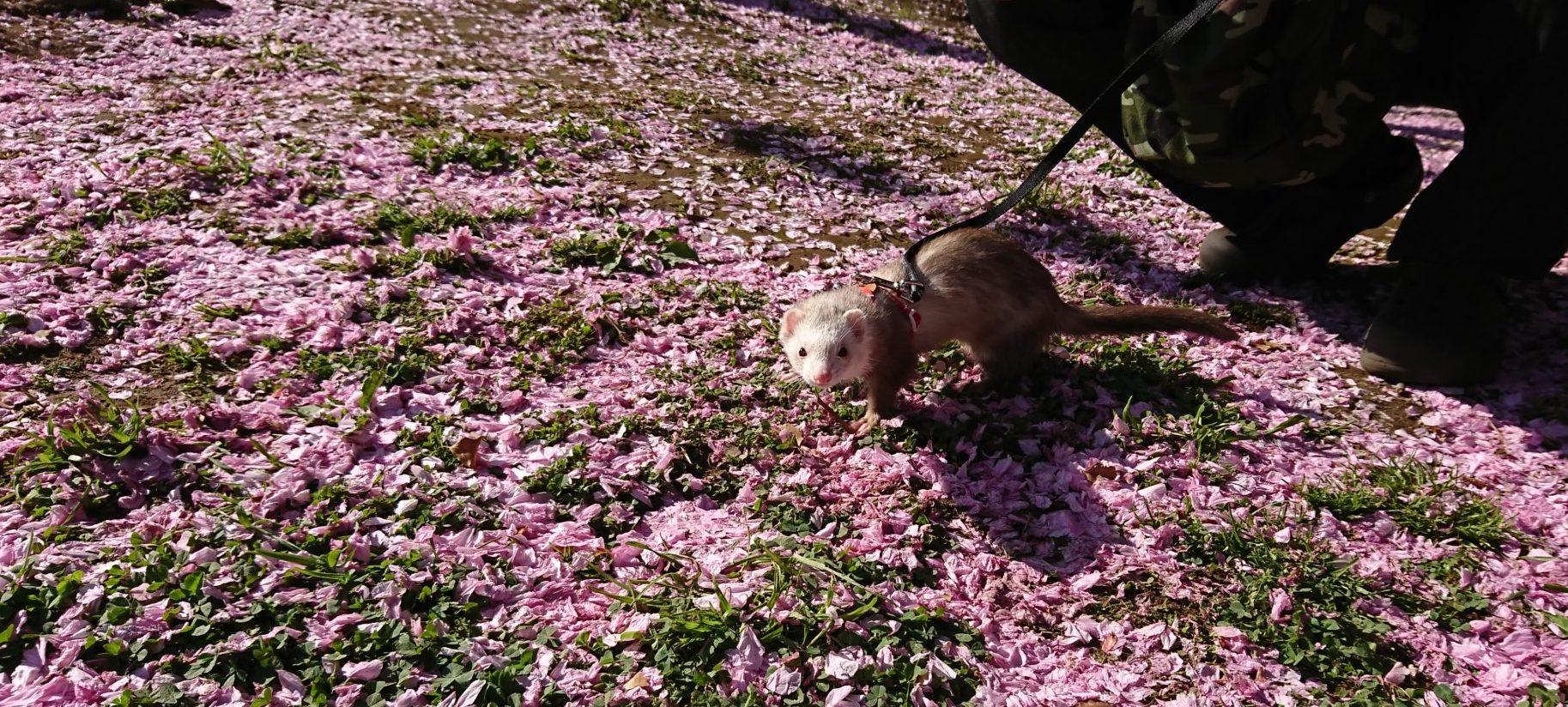 桜のじゅうたんとフェレット