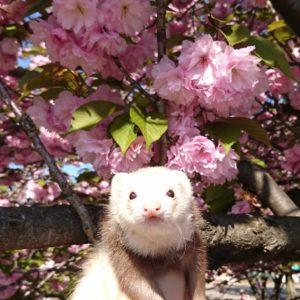 八重桜とフェレット