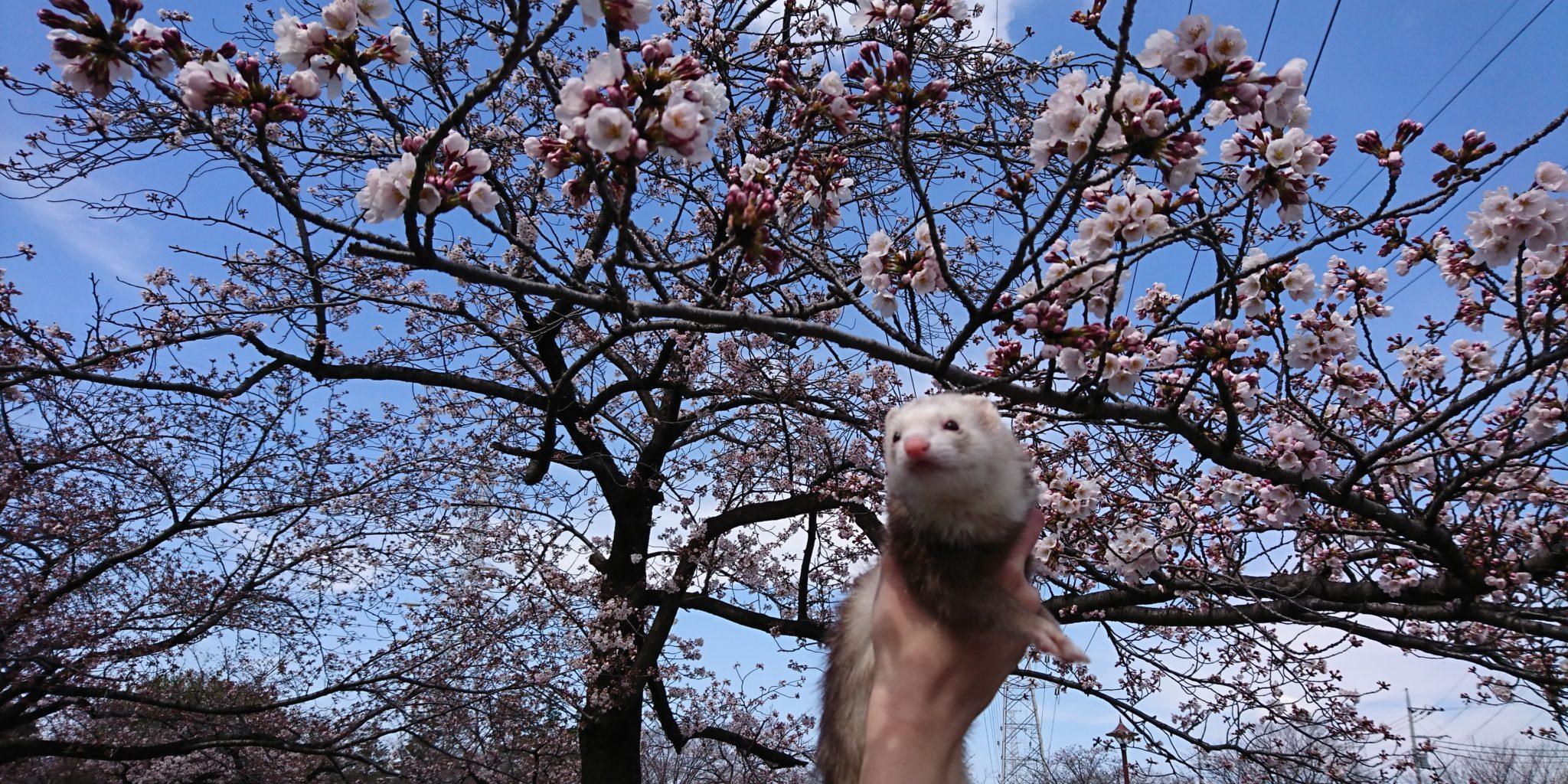 桜とフェレット