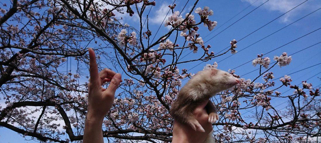 桜を見ないフェレット
