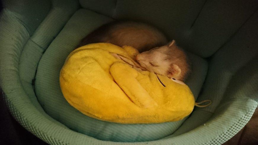 ヒンヤリ枕で寝るフェレット