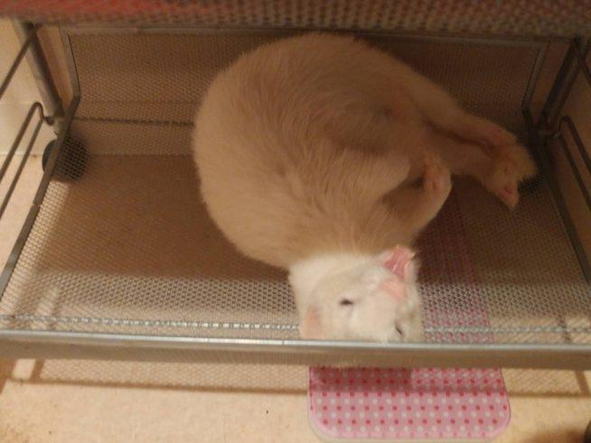 棚で寝るフェレット
