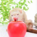 リンゴを食べる(?)フェレット