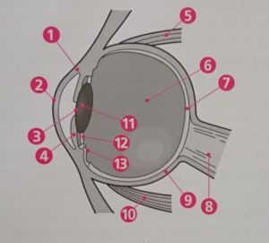 フェレットの目の構造