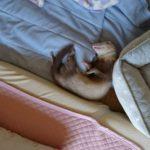 ベッドからこぼれ落ちて寝てるフェレット