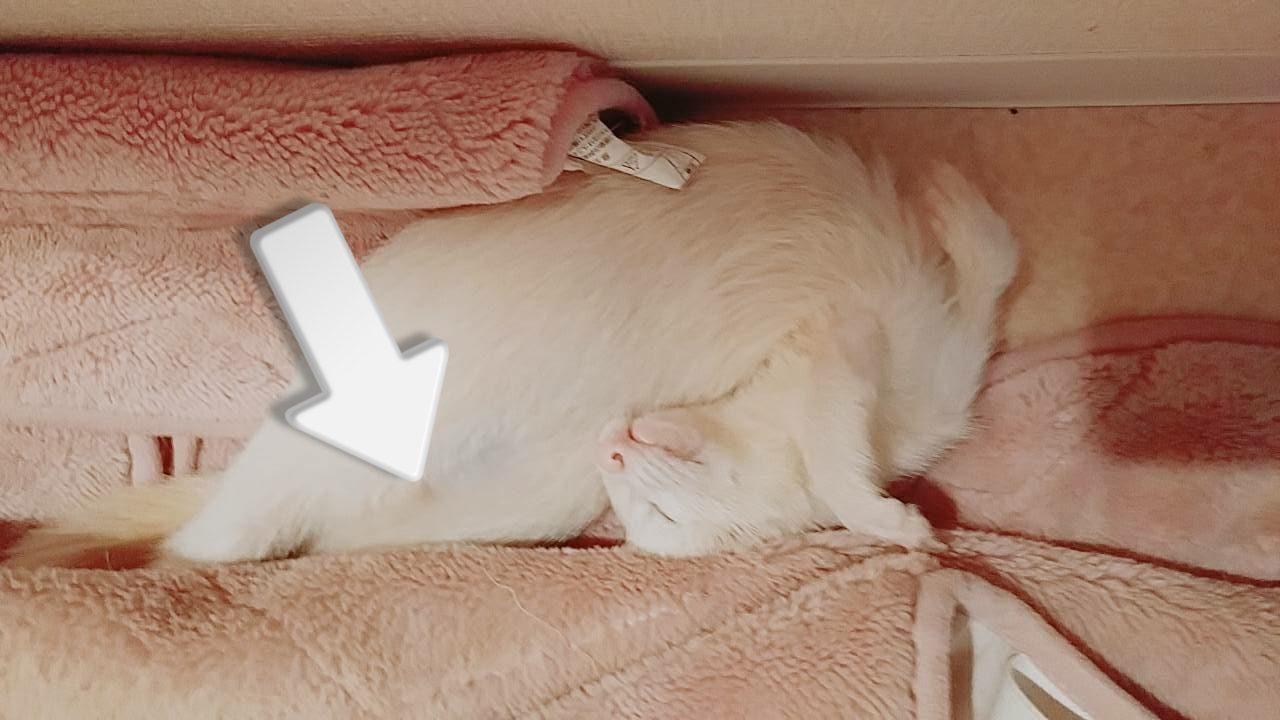 へそ天して寝てるフェレット