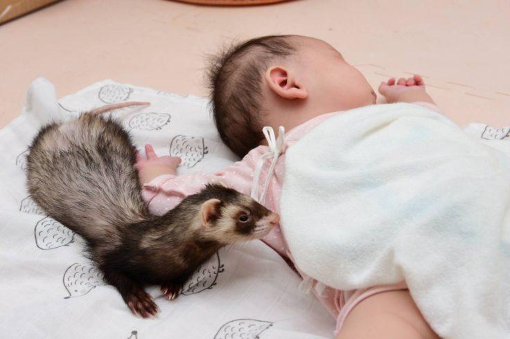 赤ちゃんに近寄るフェレット