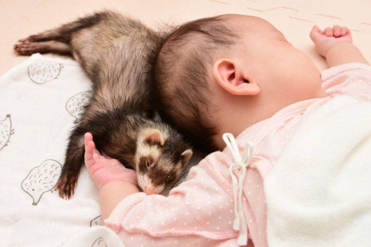 赤ちゃんに寄り添うフェレット
