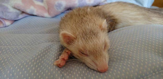 フェレット 寝た