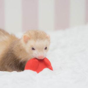 クリスマスと思いきやタコの玩具で遊ぶフェレット