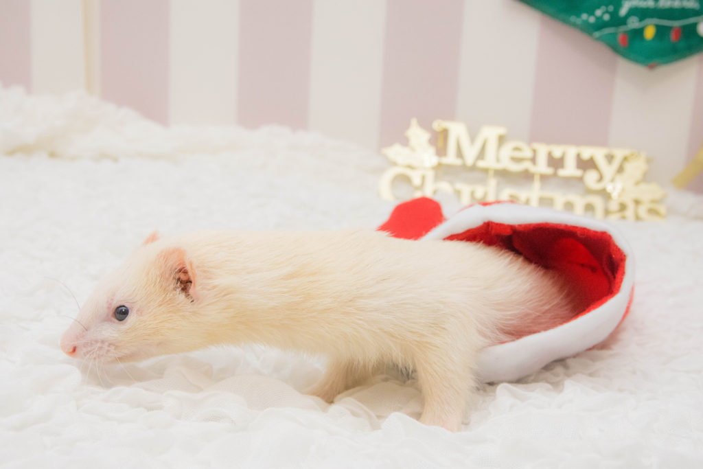 クリスマスお終いのフェレット