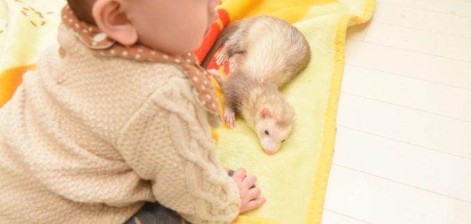 フェレットと赤ちゃん
