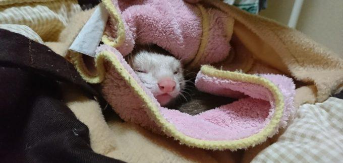フェレットの抱っこ寝