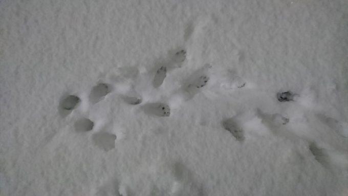 雪についたフェレットの足跡