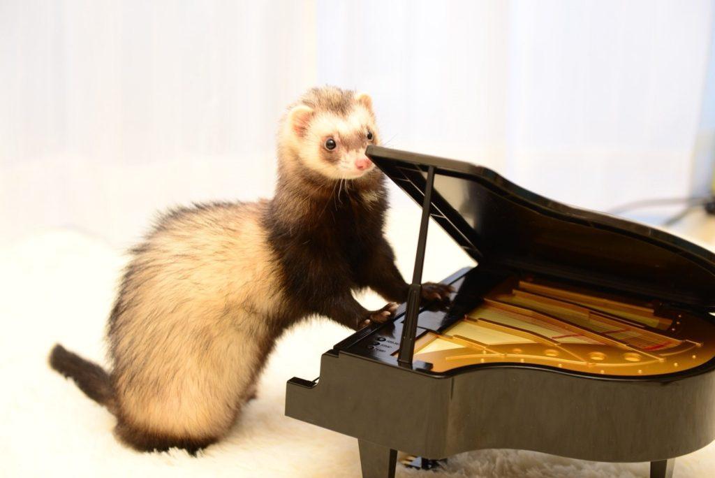 フェレットとピアノ