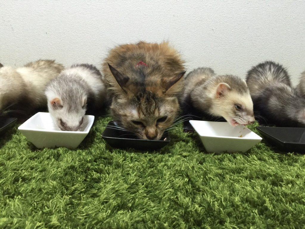 猫とフェレット