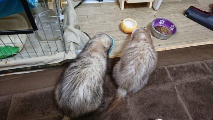 2匹で仲良くご飯を食べるフェレット