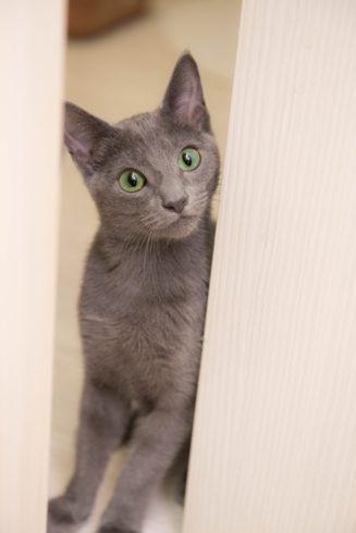 窓から覗く猫(ロシアンブルー)