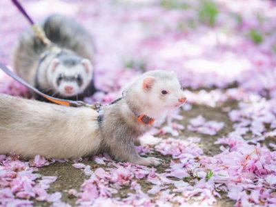 フェレットの散歩(花見)