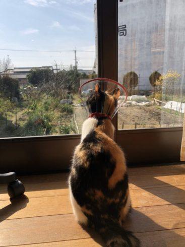 外を見ているケガした猫