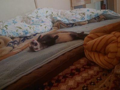 荒れた部屋で寝てるフェレット