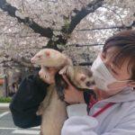 フェレットと桜