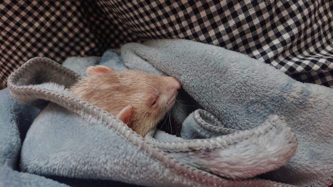 フェレット抱っこ寝